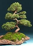 TROPICA - Enebro de la China (Juniperus chinensis) - 15 semillas- Bonsai