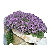 Marde Ross & Company 8000+ Creeping Thyme Seeds - Perennial Herb for Landscaping