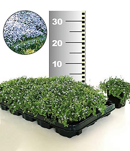 BALDUR-Garten Winterhart Isotoma \'Blue Foot®\' 25 Stk. trittfester Bodendecker, Rasen-Ersatz