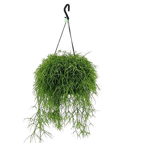 Cactus et plante grasse de Botanicly – Rhipsalis Cassutha en Suspension florale comme un ensemble – Hauteur: 25 cm