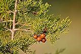 Juniperus turbinata  Enebro Mediterrneo  10 semillas, fruta, flor, rbol, vid, arbusto, semillas