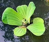 Agua Lechuga - flotante viven plantas acuticas de exterior
