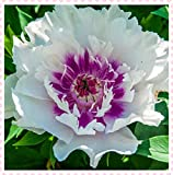 Peonas bulboPeony de las semillas de flor macetas jardineras peonas semillas de bonsi plantas Semillas para el hogar y el jardn-20bulbos