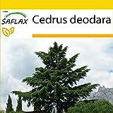 SAFLAX - Set de cultivo - Cedro del Himalaya - 35 semillas - Con mini-invernadero, sustrato de cultivo y 2 maceteros - Cedrus deodara