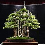 Semillas de pino para jardn de jardn, 50 piezas de pino bonsi de enebro, semillas de pino Juniperus Chinensis, plantas de jardn y balcn de Zhouba, 50 unidades.