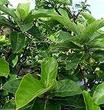 Ficus hispida raras Semillas higuera tropical Planta ornamental Bonsai o Standard