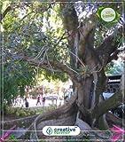 Seed Ficus Infectoria - Pepri Big Seeds Kitchen Garden Seeds 20Indoor, Outdoor Kitchen Garden Seeds Seed (20 per Packet)