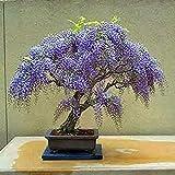 UEYR Jacaranda Mimosifolia Ornamental Jacaranda Bonsai 10 Semillas