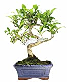 Bonsai - Ficus, 6 Aos (Bonsai Sei - Ficus Retusa)