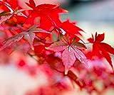 20 piezas / bolsa de cielo azul Abeto rbol bonsai semillas Picea pungens