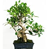 Ficus retusa 8 aos