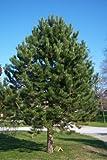 Tree Seeds Online - Pinus Nigra - Austriaca Negro Pino - 25 Semillas - 10 Paquetes