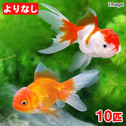 charm(チャーム) (国産金魚)よりなし(無選別) オランダ獅子頭/オランダシシガシラ 素赤~更紗(10匹) 【生体】