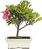 Bonsi Azalea de 7 Aos Rhododendron IndicumPlanta Natural