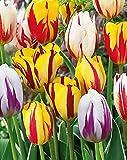 Bulbi da Fiore (15 X Tulipani REMBRANDT in MISCUGLIO)