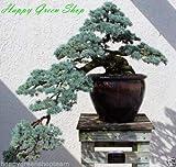 Atlas Cedar - 12 Semillas - Cedrus Atlantica Bonsai Blue Atlas Cedar Christmas