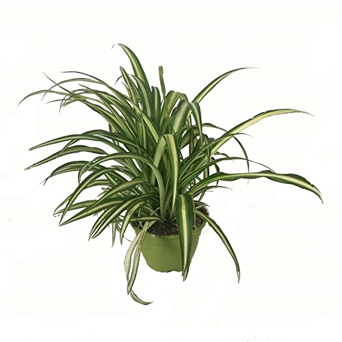 Cinta Planta - Maceta 15cm. - con colgador - Chlorophytum - Planta viva - (Envíos sólo a Península)