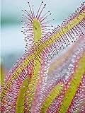 Hxfhxf Drosera Capensis Planta Sundew Diy Lienzo Pintura Color Por Nmeros Flores Adultas Y Hermosa Planta