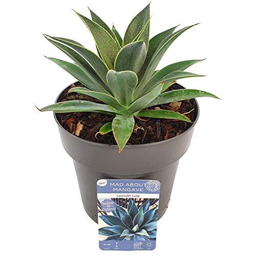 Cactus et plante grasse de Botanicly – Mangave Lavender Lady – Hauteur: 15 cm