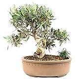 Bonsi Olivo, Olea europaea, 23 aos, altura 37 cm