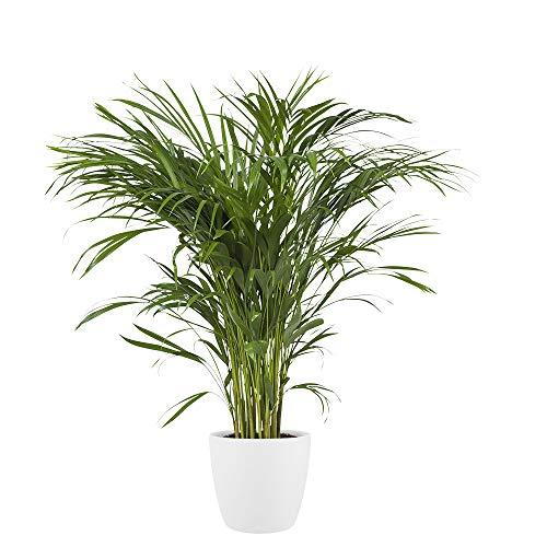 Plante d'intérieur de Botanicly – Palmiste multipliant en pot de fleur blanc comme un ensemble – Hauteur: 90 cm – Areca dypsis lutescens