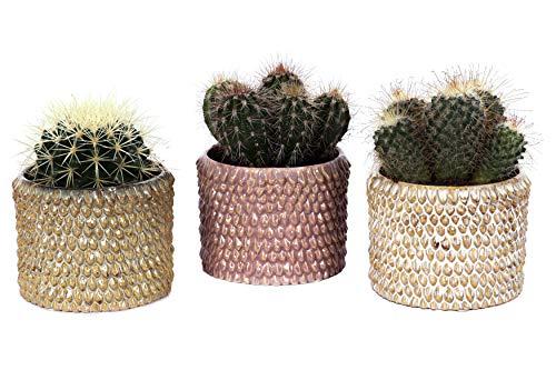 Cactus et plantes grasses de Botanicly – 3 × Cacti – Hauteur: 15 cm – Cactus Mini