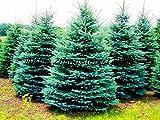 Homely 100 semillas de semillas perennes, semillas de abeto azul Colorado Picea Pungens Glauca, buenas para cultivar en macetas, semillas de macetas.