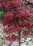 TROPICA - Arce japons rojo (Acer palmatum atropurpureum) - 20 semillas- Resistente invierno