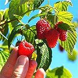 YENJOS 100pcs / sac Graines de Framboise Rouges Fruits du Jardinier Myrtille Framboises Graines de Fleurs