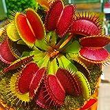 Dionaea Semillas, 100 piezas / bolso Semillas atrapamoscas de Venus completa Sun carnvora cida del suelo Semillas Bonsai Garden Dionaea de Inicio