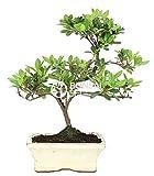 Bonsai - Azalea, 7 Aos (Bonsai Sei - Rhododendron)
