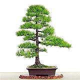 Las semillas de pino japons rbol bonsai semillas de Pinus thunbergii, fciles de plantar 10 pcs DIY
