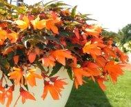 Begonia Seeds Bossa Nova orange Trailing Begonia 15 graines pastillées