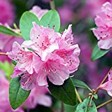 50 Piezas / Bolsa De Semillas De Rododendro Son Fciles De Plantar Arbustos De Hoja Perenne De Rpido Crecimiento Con Flores Rosadas Y Semillas De Bonsi Como Macizos De Flores Semillas de rododendro