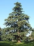 Deodar Cedar, (cedro del Himalaya), Cedrus Deodara, rbol 10 Semillas