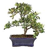 Bonsai - Azalea, 9 Aos (Bonsai Sei - Rhododendron Indicum)
