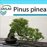 SAFLAX - Set regalo - Pinos pioneros - 6 semillas - Con caja regalo/envo, etiqueta para envo, tarjeta de felicitacin y sustrato de cultivo y fertilizante - Pinus pinea