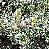 ASTONISH SEEDS: Comprar bienes Semillas Pinus rbol 240pcs de la planta del rbol de pino Pinus Grow Wu Zhen Cancin pinaster