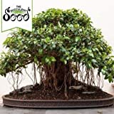 Portal Cool Hojas pequeas Fig - Ficus Obliqua (250 Bonsai Seeds)