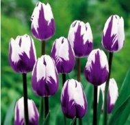 Toutes sortes de bulbes de tulipes belles fleurs de jardin sont appropriés pour les plantes en pot (il n'est pas une graine de tulipe) bulbes 2PC 2