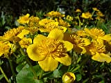 100 Seeds of Caltha palustris, Marsh Marigold, Kingcup