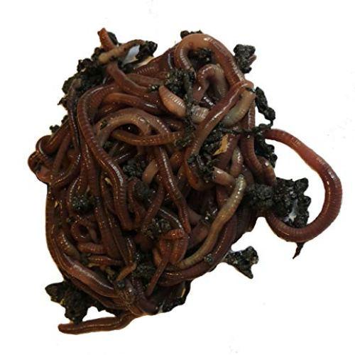 Red Wiggler Earthworms