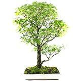 Arce de corcho, Arce palmatum arakawa, bonsi para exterior, 28 aos, altura 80 cm