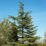 5 Semillas de 3528 Incienso Cedar (Cedrus Deodara)