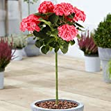 Hydrangea Macrophylla Tree Collection | Deciduous Trees for Small Gardens Patios Plant Borders | Potted Lollipop Blue, Pink, White & Red Trees | Climbing Hydrangea Flower (70-80cm (Incl. Pot), Blue)