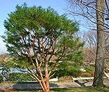 Rojo japons pino, Pinus densiflora, 60 semillas de rboles (Bonsai, Hardy Evergreen)