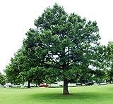 30 semillas - Austrian pino, Pinus nigra, semillas de rboles (Fast Hardy Evergreen)