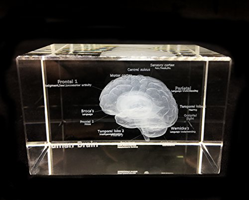 3D Human Brain Anatomical Model Paperweight(Laser Etched) in...