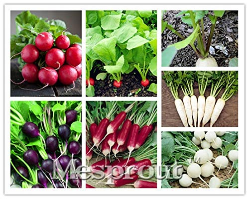 100 Pcs Giant ravanello Vegetable Seeds antico gigante rossa Trentino Cavolo rapa (5 tipi di ravanello)