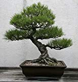 Pets Delite 15 Semillas de Pinus Thunbergii (Pino Negro Japons) Bonsia